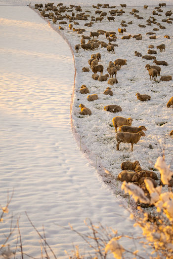 Many sheeps on a snowy field Water Animal Themes No People Animal Nature Sea Animals In The Wild Day Beach Animal Wildlife Beauty In Nature Land Mammal Outdoors Group Of Animals High Angle View Bird Vertebrate Sheeps Winter
