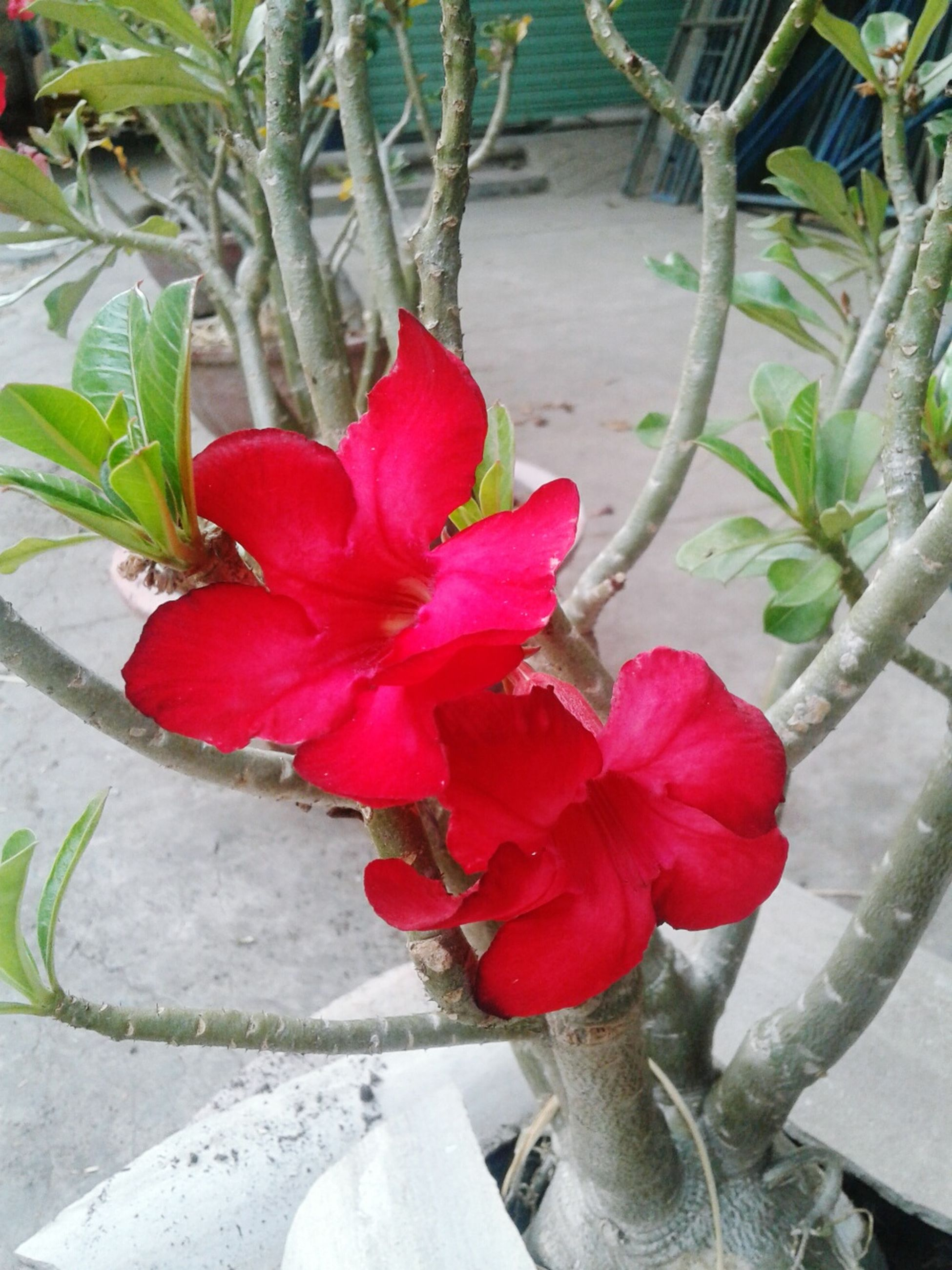 flower, growth, freshness, red, petal, plant, fragility, leaf, flower head, potted plant, beauty in nature, nature, blooming, high angle view, in bloom, close-up, sunlight, blossom, pink color, day