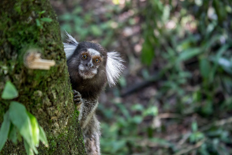 Animal Animal Hair Animal Head  Animal Themes Animals In The Wild Beauty In Nature Branch Day Focus On Foreground Lemur Looking Mammal Nature One Animal Outdoors Selective Focus Tree Tree Trunk Wildlife Zoology