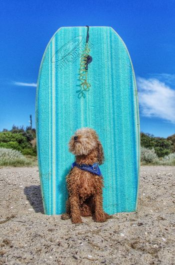 Strike a pose Dog Cute Summer Outdoors Happy Surfing Beach Poodle Playing Relaxing Fresh On Market 2018