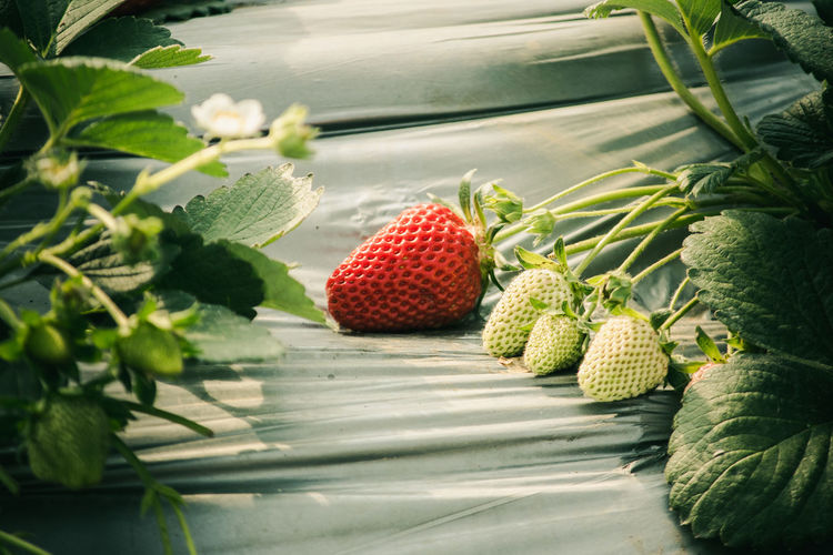 Berry Fruit Close-up Day Food Food And Drink Freshness Fruit Green Color Growth Healthy Eating Leaf Lychee Nature No People Outdoors Plant Part Red Ripe Strawberry Table Vegetable Wellbeing