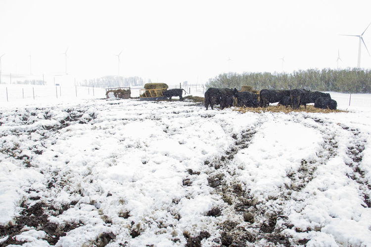 Agriculture Animal Bale  Black Canon60d Canonphotography Cattle Cattle Yard Cows Domestic Animals Farm Hay Livestock Mud Outdoors Snow Snowing Spring Tracks Wet White Wind Power Wind Turbine Windmill