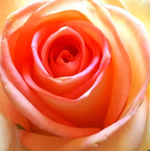 Close-up of fresh rose