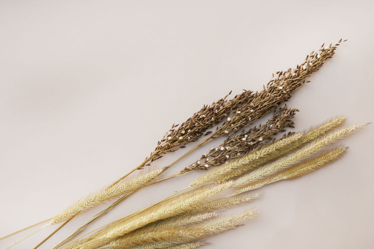 Close-up of wheat growing on table