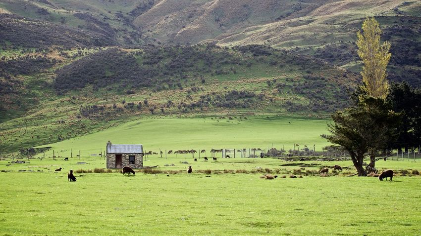 Stone Cottage, Central Otago Central Otago Countryside Farm Farm Cottage Grass Green Color Landscape Mountain Nature New Zealand Non-urban Scene NZ Old Cottage Outdoors Scenics Solitude Stone Cottage Tranquil Scene Tree