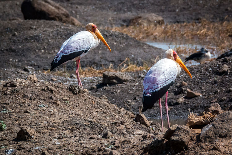 A Beauty In Nature Beauty Redefined Bird Bird Of Prey Bird Photography Birds Of EyeEm  Birdwatching Yellow Billed Stork Ethiopia EyeEm Nature Lover Free Marabu Prey Animal Cycle Of Life