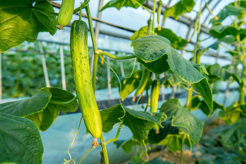 cucumbers in the garden Agriculture Beauty In Nature Close-up Day Focus On Foreground Freshness Green Color Growth Leaf Nature No People Outdoors Plant