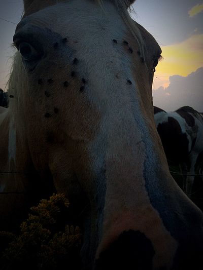 Horses Fly Close-up Animal Head  Outdoors Shot By IPhone The Great Outdoors With Adobe Beautiful Horse Photography  Sunset