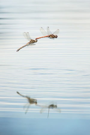 Dragonfly Mating Animal Animal Themes Animal Wildlife Animals In The Wild Day Dragonflies Dragonflies In Flight Dragonflies Mating Dragonflies Over Water Flying Flying Insect Insect Invertebrate Mating Pair Of Insects Mating Season Matingseason Mid-air Motion Nature No People Outdoors Water Waterfront