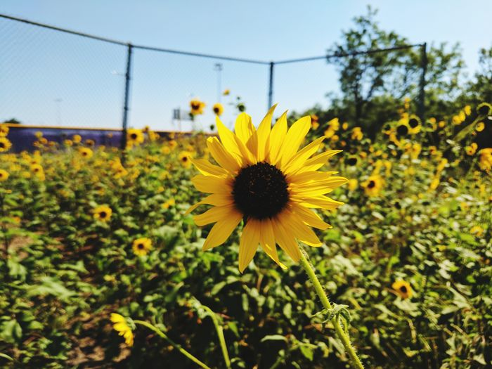 Flower Sunflower Nature Close-up