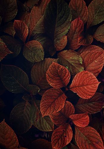the beatiful red plant leaves in the garden in the nature Leaf Leaves Red Plant Nature Garden Outdoors Beauty In Nature Beauty Beautiful Fragility Fragile Romantic Backgrounds Wallpaper Plant Part Autumn Fall Winter Day Vulnerability