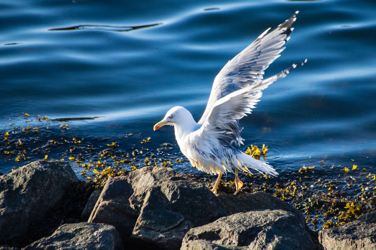 Close-up of seagull on rock by lake