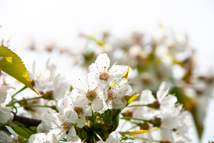 Close-Up Of White Cherry Blossom Plant