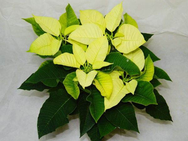 Leaf Green Color Yellow Indoors  Freshness Studio Shot Herb No People Plant Healthy Eating Close-up Day Poinsettia Poinsettia Plants Poinsettias Poinsettia With Christmas Tree Poinsettia Flower Poinsetta Flowers Poinsettia Variety Poinsetta