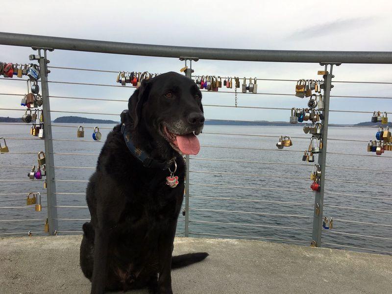 EyeEm Selects Dog Bestfriend Bridge Padlock University Place Wa