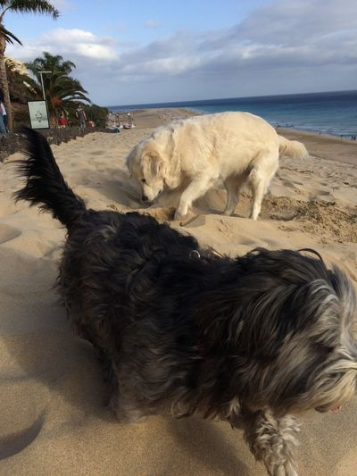 Fuerteventura Domestic Animals Animal Themes Dog Beach Pets Dog Digging A Hole Dogs Playing