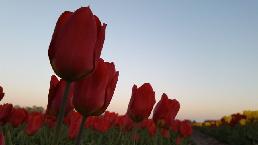 Close-up of red tulips on field against clear sky