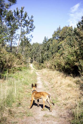 Belgian malinois puppy in the field