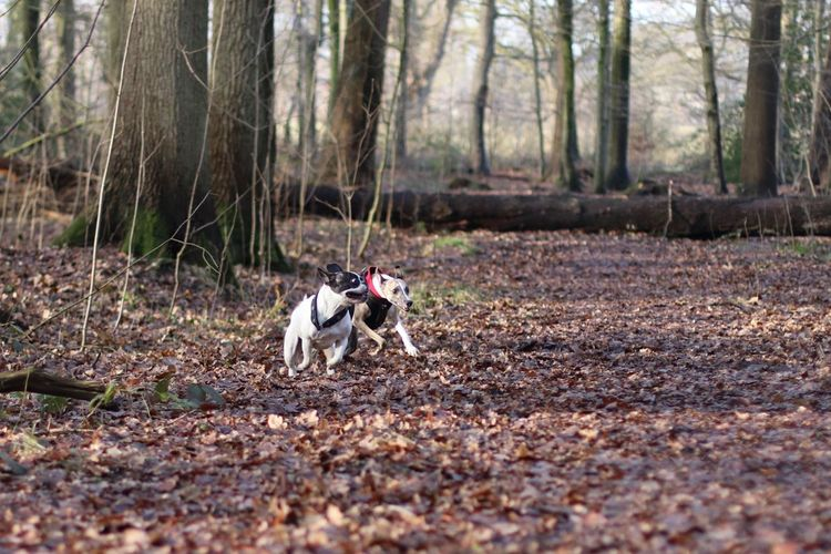 Dog Dog Friends Dog Friendship Doggy Friends Dogs Dogs In Action Französische Bulldogge  French Bulldog Frenchbulldog Hund Hund In Aktion Hunde Hunde Im Wald Hunde In Aktion Hungary Laufende Hunde Outdoors Playing Dogs Running Dogs Spielende Hunde Whippet Whippets