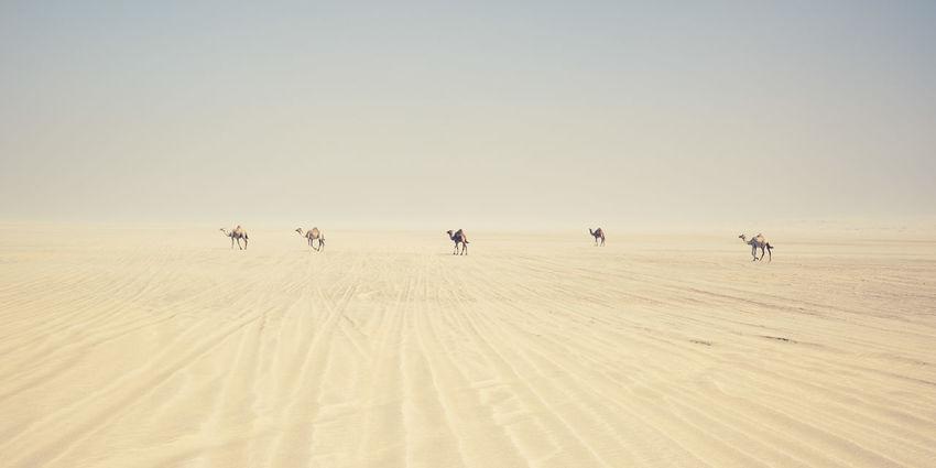 Camels in the desert, South of Doha, Qatar. Dunes Khor Al Udeid Arid Climate Camel Day Desert Environment Group Of Animals Land Qatar Sky