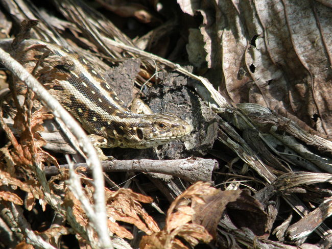Lizard Camouflage Hagedis Hidden Beauty In Nature Reptile