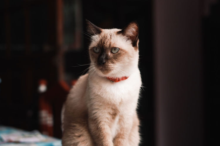 Close-up of cat looking away at home