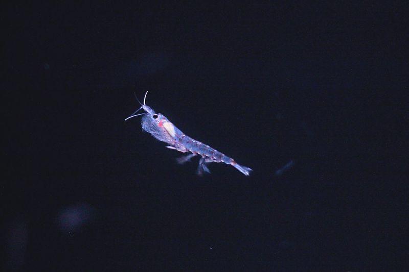 ナンキョクオキアミ Antarctic Krill Aquarium
