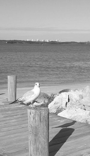 seagull peached resting. Bird Animal Wildlife Animals In The Wild Animal Themes Nature Perching Beauty In Nature Outdoors Bird Photography Beautiful Scenery Beauty In Nature River Waterfront EyeEmNewHere Fort Pierce South Causeway Park Fort Pierce Florida