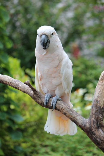 Close-up of cockatoo perching on branch