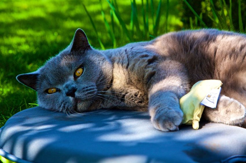 After The Pick Me Up! Animal Themes Beating Up The Cat Nip British Blue Short Hair.cats Day Domestic Animals Domestic Cat EyeEm Cat Feline Lying Down Mammal No People One Animal Outdoors Pets Portrait Relaxation