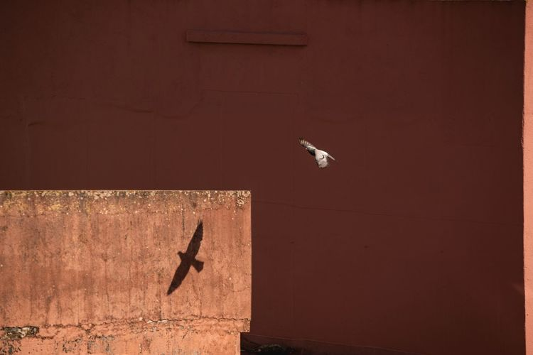 Seagull flying against wall