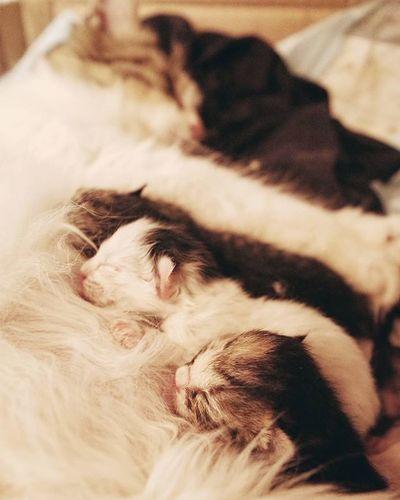 BB. Cat Baby