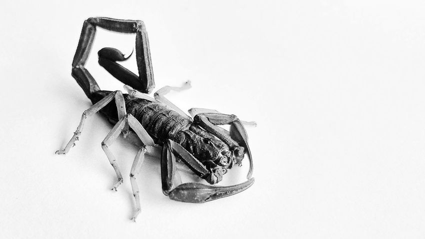 Nature_collection Nature Natural Beauty Wildlife Nature Photography Scorpion Arachnid Scorpion White Background Close-up