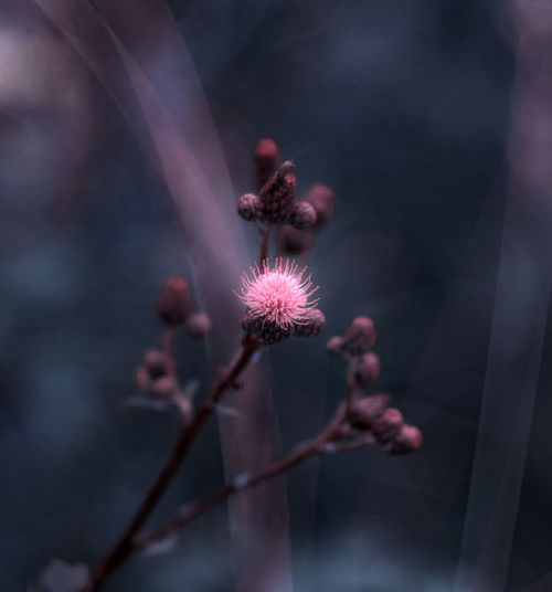 Close-up of pink flower growing plant