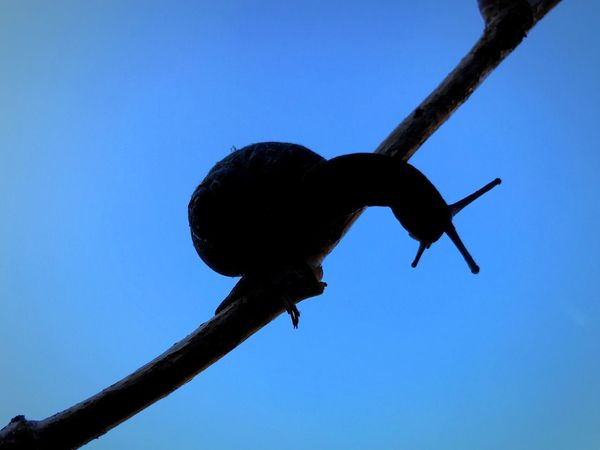 Snail Sky Blue Clear Sky Low Angle View Nature No People Animal Branch Silhouette