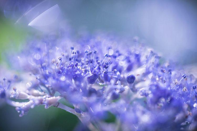 レンズ濡れまくりのマクロの世界。紫陽花の水滴美味しそう。 Flower Flowering Plant Purple Plant Vulnerability  Freshness Fragility Selective Focus Beauty In Nature Close-up Petal Nature Growth No People Flower Head Day Inflorescence Blue Outdoors Lavender