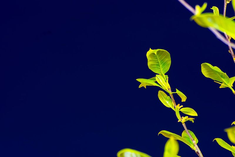 Nature Growth Leaf Clear Sky Beauty In Nature No People Plant Close-up Fragility Outdoors Freshness Day Tree Night Nightphotography Green Leaf Vein Leaf 🍂 Leaves Blue Background Blue Background Wallpaper The Great Outdoors - 2017 EyeEm Awards