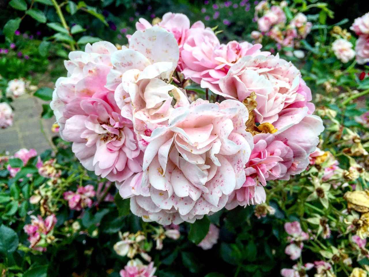 flower, pink color, nature, petal, plant, beauty in nature, rose - flower, fragility, growth, no people, flower head, blooming, wild rose, peony, close-up, outdoors, day, freshness