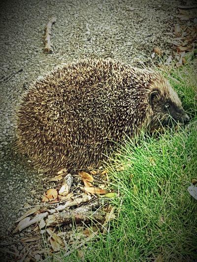 Mobile Photography Hedgehog Photoediting