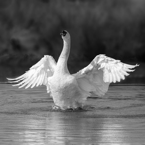 Close-up of swan flying over lake