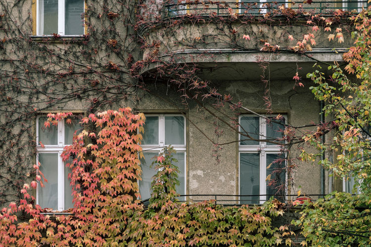 Autumn Ivy on House City Colors Autumn Building Exterior Creeper Plant Detail Growth House Ivy Leaf Nature No People Plant Window