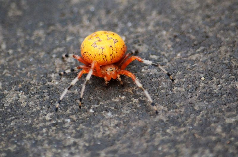 One Animal Animal Themes Animal Wildlife Animal Animals In The Wild Invertebrate Close-up Selective Focus No People Day Insect Nature Outdoors Zoology Animal Body Part Arthropod Spider Sand Arachnid Full Length Marine Small Marbled Orb Weaver