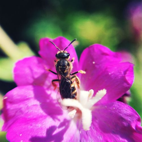Nature Macro Flower Fucsia Flower Animal Insect Bee Little Bee