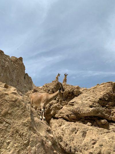 Goats Sky Land