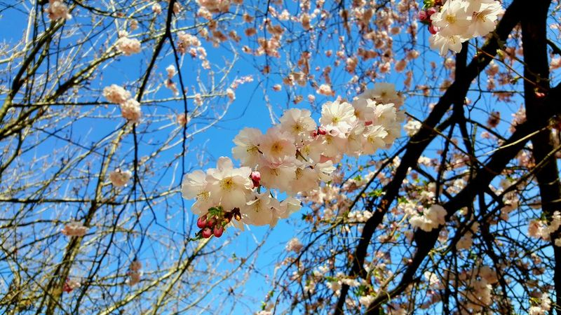 Spring in Prague Growth Low Angle View Tree Nature Beauty In Nature Branch Sky Fragility Blossom Outdoors Springtime No People Day Freshness Close-up Flower Head
