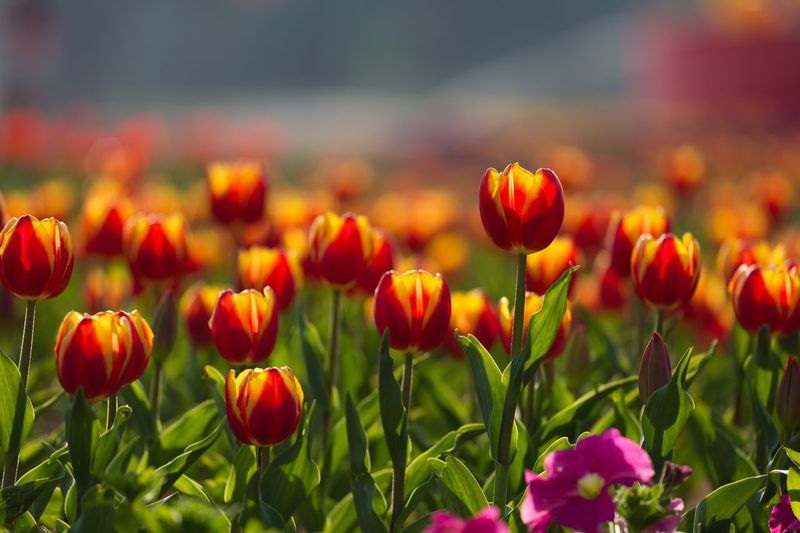 Tulip Flower Plant Flowering Plant Freshness Growth Fragility Beauty In Nature Close-up Flower Head Nature Field No People Tulip Red