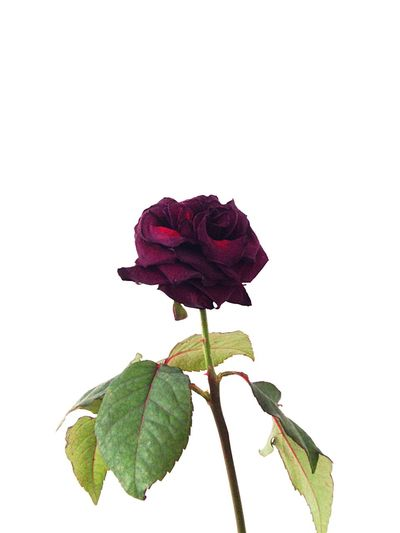 Close-up of red rose over white background
