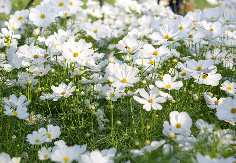 Close-up of white daisy flowers in field