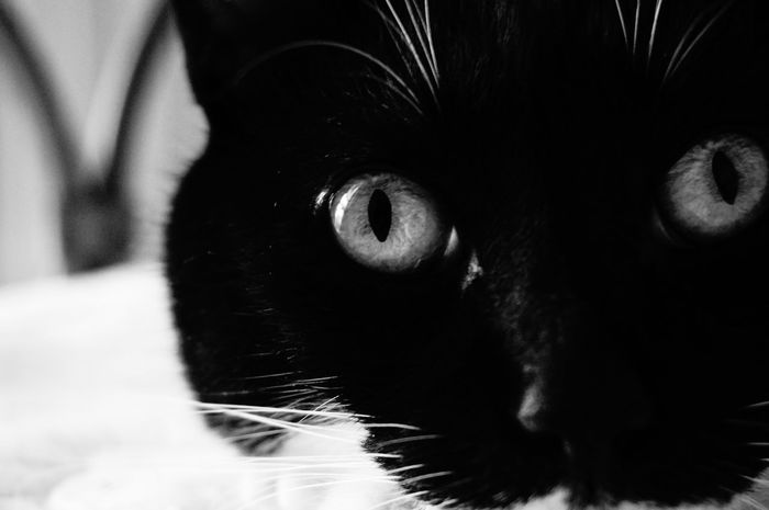 Ciapaciapa . One Animal Pets Looking At Camera Portrait Domestic Animals Mammal Animal Themes Close-up Domestic Cat Cat Eyes Eyes Watching You Black & White Photography Bnwpictures Black And White Photography Cat Pet Portraits Black And White Friday Inner Power