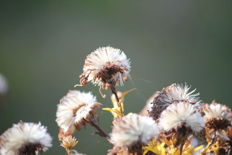Close-Up Of Wilted Thistle